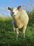 Überraschte Schafe Stockfotos