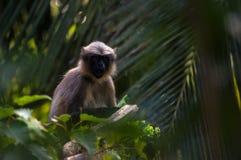 Überraschter Affe Lizenzfreies Stockfoto