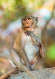 Überraschter Affe, der auf Stein mit offenem Mund sitzt Stockfoto