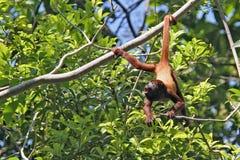 Überraschter Affe, der durch das Endstück, Kolumbien hängt Stockbilder