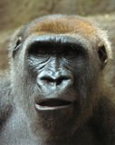 Überraschter Gorilla Stockfotografie