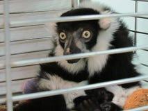 Überraschter Maki, der in aufpassenden Passanten eines Käfigs sitzt stockbild