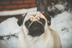 Überraschter Pug auf dem Schnee lizenzfreies stockbild