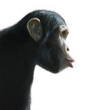 Überraschter Schimpanse lokalisiert auf Weiß Stockfotografie