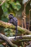 Überraschter schwarzer kleiner Affe Goeldi, der Straitgh Ihnen betrachtet Lizenzfreies Stockfoto