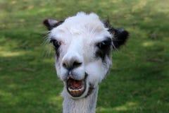 Überraschtes Alpaka, das Lebensmittel kaut stockfoto