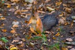 Überraschtes Eichhörnchen Stockbild