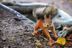 Überraschtes Eichhörnchen Stockfoto