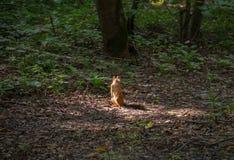 Überraschtes Eichhörnchen gefangen durch Überraschung Stockbilder