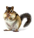 Überraschtes Eichhörnchen schließt Mund mit den Tatzen, lokalisiert auf Weiß Lizenzfreies Stockbild