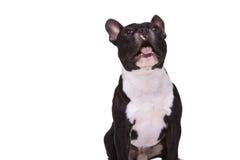 Überraschtes Hündchen der französischen Bulldogge, das an etwas bellt Lizenzfreie Stockfotografie