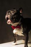 Überraschtes Hündchen der französischen Bulldogge tragendes bowtie lizenzfreie stockfotografie