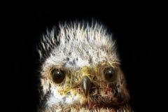 Überraschtes Küken, überraschter jugendlicher Adler Computerzeichnung Lizenzfreie Stockbilder