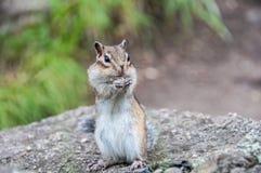 Überraschtes Streifenhörnchen Stockfoto