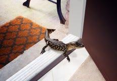 Überraschungsgast - amerikanischer Alligator auf der Türstufe des Hauses Stockfotografie