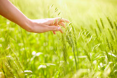 Überreichen Sie Weizen Stockfotos