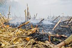Überreste der Landwirtbrandstiftung nach der Ernte von Mais, die die Tötung von Mikroorganismen ergaben, sowie kleine Tiere und R stockbild