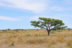 Überreste einer Giraffe Stockfotos