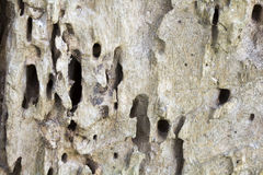 Überreste eines alten Baumstammes ohne den Barkenbaum gegessen durch hölzerne Würmer Lizenzfreies Stockfoto