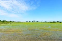 Überschwemmte Reisfelder, Lomellina (Italien) Stockbilder