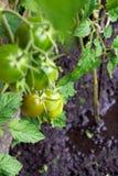 Überschwemmte tomatoe Anlagen auf dem Gebiet Stockfotos