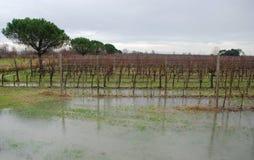 Überschwemmte Trauben-Reben Stockfotos