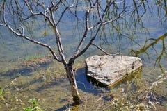 Überschwemmter bloßer Baum und ein Stein Stockfotos