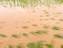 Überschwemmter Schaden des Landwirtschafts-Reisfeldes Lizenzfreies Stockbild