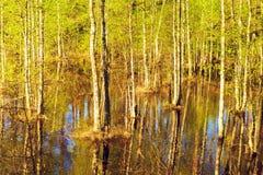 Überschwemmter Wald am Frühling Stockbild