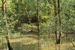Überschwemmter Waldmangrove-Sumpf stockfoto