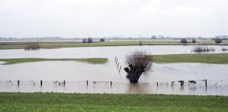 Überschwemmtes Land und Weidenbaum nahe Fluss Rhein in Holland Stockbild