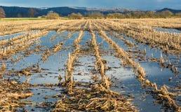Überschwemmtes Maisfeld Stockfotos