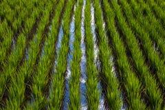 Überschwemmtes Reisfeld mit Himmelreflexion lizenzfreie stockbilder