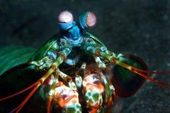 Überwältigende Mantisgarnele stockfotos