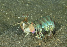 Überwältigende Mantisgarnele Stockfoto