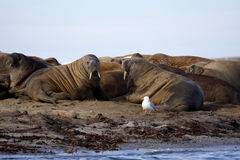 Überwachen eines Walroß haulout stockfotos