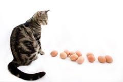 Überwachende Eier der Katze Lizenzfreies Stockfoto