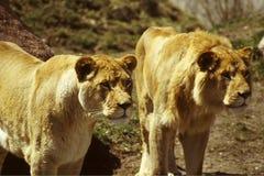 Überwachende Löwen Lizenzfreies Stockfoto