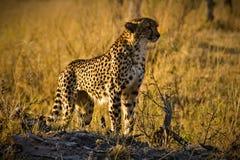Überwachender Gepard Lizenzfreie Stockfotos