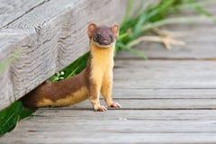 Überwachender Weasel Stockfotos