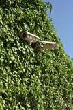 Überwachungskameras auf Efeu bedeckten Wand Lizenzfreies Stockfoto