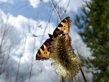 Überwinterter Schmetterling sitzt auf einer Weidenblume gegen den Himmel mit Wolken lizenzfreie stockfotos