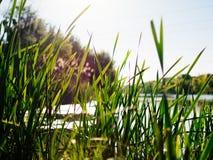 Überwucherte Schilfe auf dem Ufer von See lizenzfreies stockfoto