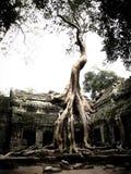 Überwucherter Banyanbaum wurzelt auf einem Tempel in Kambodscha Lizenzfreies Stockfoto
