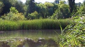 Überwucherter See im Sommer stock footage
