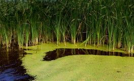 Überwucherter Teich. Lizenzfreie Stockbilder