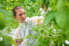 Überzeugter weiblicher Wissenschaftler, der herein frische grüne Bohnen für Test auswählt Lizenzfreie Stockbilder