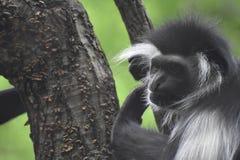 Überzogener Colobus-Affe, der oben einen Baum-Stamm klettert Lizenzfreie Stockbilder