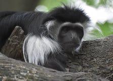 Überzogener Guereza-Schwarzweiss-Affe, der auf einen Baum legt Lizenzfreie Stockbilder