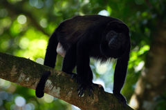 Überzogenes Brüllaffe Alouatta palliata im Naturlebensraum Schwarzer Affe im Waldschwarzaffen im Baum, schwarzer Affe Lizenzfreie Stockbilder